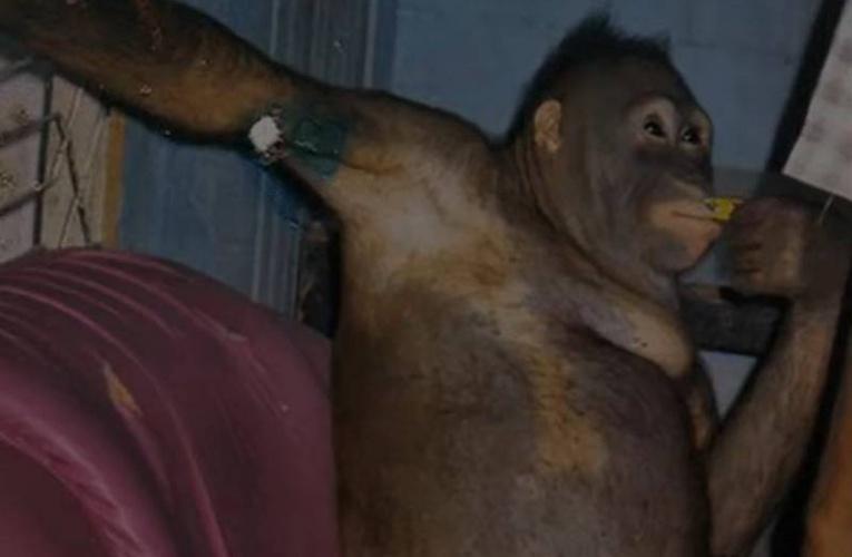 红毛猩猩沦人类性奴 每天化妆接客 获救18载现状曝光